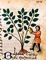 Man tapping balsam, late 15th century. Wellcome L0019170.jpg