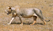 A maneless male lion, who also has little body hair—from Tsavo East National Park, Kenya