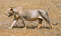Maneless lion from Tsavo East National Park.png