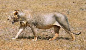 Tsavo lion - A maneless lion in Tsavo East National Park, Kenya
