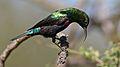 Marico sunbird, Cinnyris mariquensis, at Zaagkuildrift Road near Kgomo Kgomo, Limpopo, South Africa. Male (33498093401).jpg