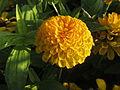 Marigold - ചെട്ടിമല്ലി 008.JPG