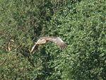 Marsh Harrier-Mindaugas Urbonas-3.jpg