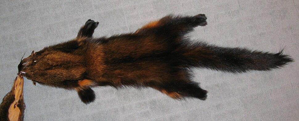 Martes pennanti (Fisher) fur-skin