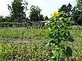 Masny tournesol des jardins ouvriers (en2018).JPG