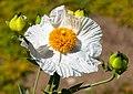Matilija Poppy 1 (14134391966).jpg