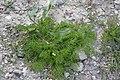 Matricaria chamomilla plant (12).jpg