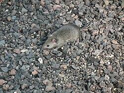 средняя продолжительность жизни мышей