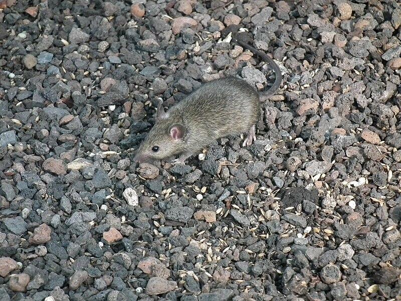 File:Maus im Haus.JPG