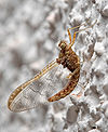 Mayfly on Wall.jpg