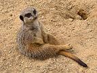 Meerkat (Suricata suricatta).jpg