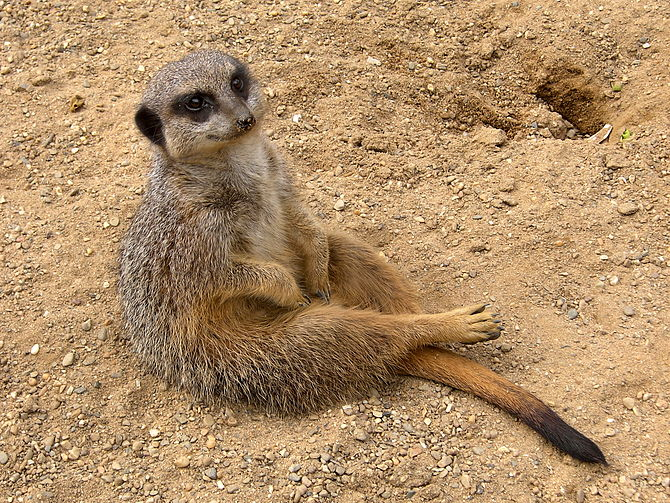 Meerkat at Antwerp Zoo.