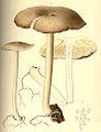 Megacollybia platyphylla Boudier.jpg