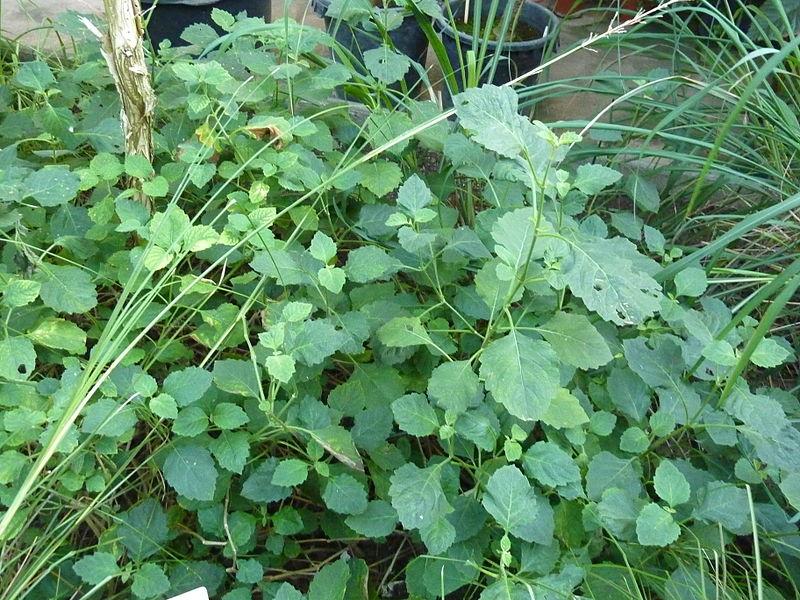 File:Melaleuca alternifolia (DITSL).JPG