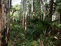 Melaleuca quinquenervia Livistona australis Wyrrabalong NP 1.jpg