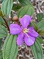 Melastoma affine flower.jpg