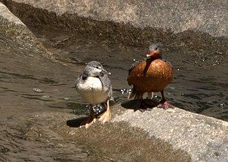 Torrent duck - Image: Merganetta armata Rio Urumamba, Peru juvenile and female 8