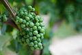 Merlot grapes pre-veraison.jpg