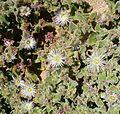 Mesembryanthemum crystallinum. - Flickr - gailhampshire.jpg