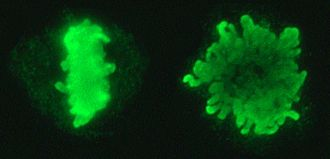 Metaphase - Chromosomes lined up on the metaphase plate. Two views with the metaphase plate rotated 60°.