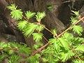 Metasequoia glyptostroboides, Arnold Arboretum - IMG 5954.JPG