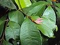 Meteoromyrtus wynaadensis 35.JPG