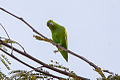 Mexican Parrotlet (Forpus cyanopygius) (8079380755).jpg