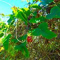 Miami Beach - Sand Dunes Flora -Vine with Red Fruit 01.jpg