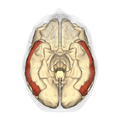 Middle temporal gyrus inferior.png