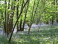 Mill Lane Bluebells, Portbury - panoramio.jpg