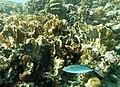 Millepora complanata y Caranx ruber.jpg