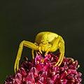 Misumena vatia yellow.jpg