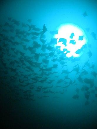 Mobula - Image: Mobula shoal