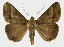 Mocis latipes adult.jpg