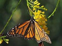 Mariposa monarca en flor vara de oro