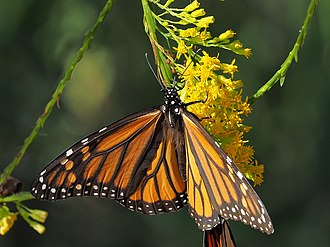 Gold (color) - Monarch butterfly on goldenrod flower