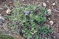 Monardella villosa subsp. franciscana - Regional Parks Botanic Garden, Berkeley, CA - DSC04510.JPG