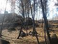 Monte de piñeiros queimado.jpg