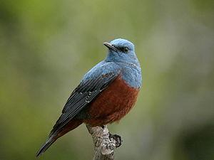Catalogue d'oiseaux - Image: Monticola solitarius philippensis