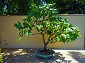 Morikami Museum and Gardens - Bonsai Florida Maple.jpg