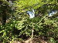 Morris Arboretum Styrax japonica.JPG