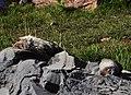 Mount Rainier - September 2017 - Hoary marmots 48.jpg