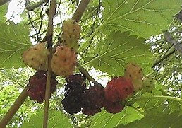 Mulberries in the US.jpg