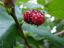 Mulberry (Morus alba) China native (3462929877).jpg