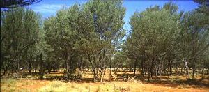 South West Queensland - Mulga woodland, 2006