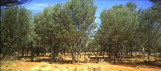 Acacia aneura - Mulga woodland in Southwestern Queensland. The tallest trees in this photograph are close to 7 m.