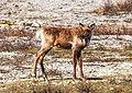Muncho Pass area - caribou (5857519886).jpg