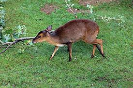Muntžak malý (Muntiacus reevesi)