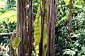 Musa zebrina 5zz.jpg