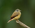 Muscicapa ferruginea -side-8.jpg